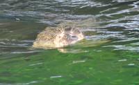 プールの上のアザラシ