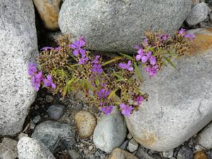 河原で撮影した花