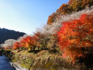 川沿いの桜&紅葉並木