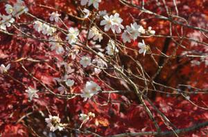 紅葉をバックに寒桜
