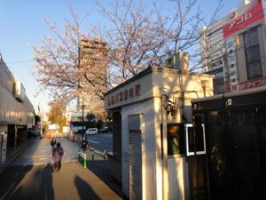 中野駅前の桜