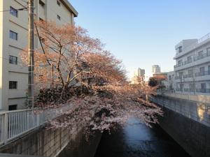 川面に迫り出す桜