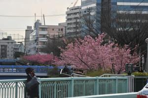 木場公園横の河津桜