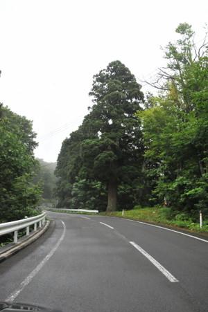 恐山街道の一本杉