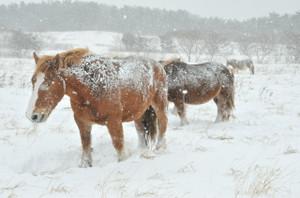 馬の片側にびっしりと雪
