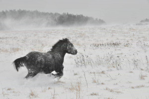 走る寒立馬