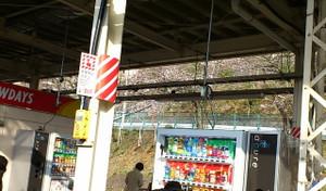 ホーム脇に桜