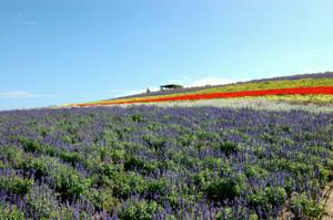 富良野のかんのファームの花畑
