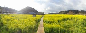南伊豆日野(ひんの)の菜の花畑