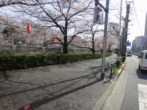 江戸川橋近くの神田川の桜