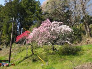 途中にあった桜